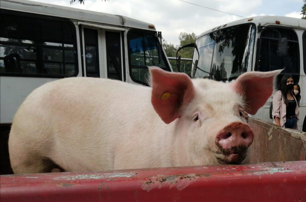 Entrega alcaldía Xochimilco 50 paquetes porcinos a familias vulnerables
