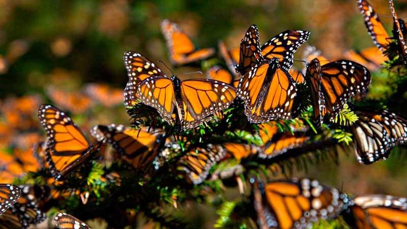Vehículos cortan vuelo de mariposa monarca