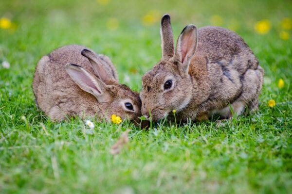 Inició Agricultura vacunación a conejos en zonas afectadas por enfermedad viral