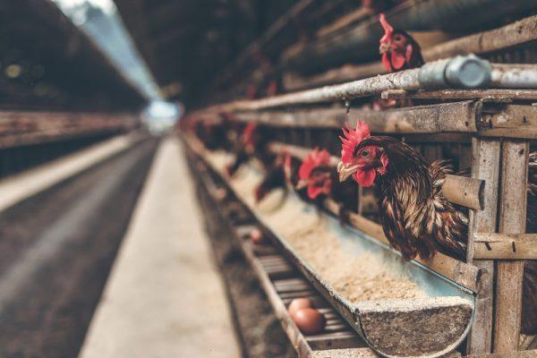 La tendencia de huevo libre de jaula sigue afianzándose en México